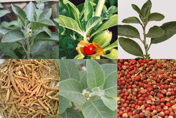 Ashwagandha and Stress Relief