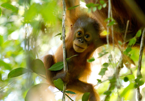 Bornean orangutan in Sebangau Forest. Photo credit: Bernat Ripoll, BNF