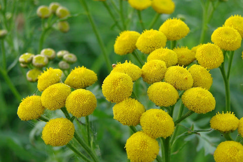 yellow, fluffy flowers with green foliage