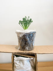 Plant stacked in packaging