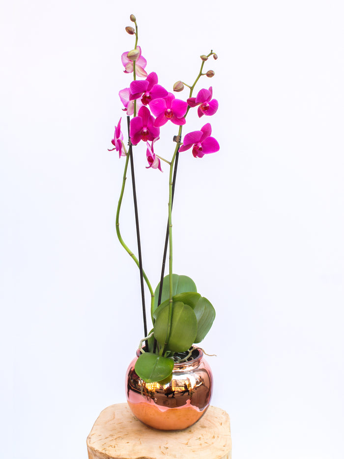 Two-Stem Purple Orchid Plant