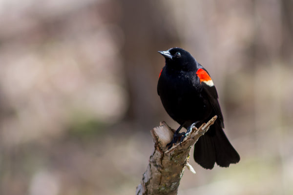 Red-Winged Blackbird Portrait