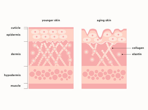 Diagram illustrating the depletion of collagen and elastin as we age