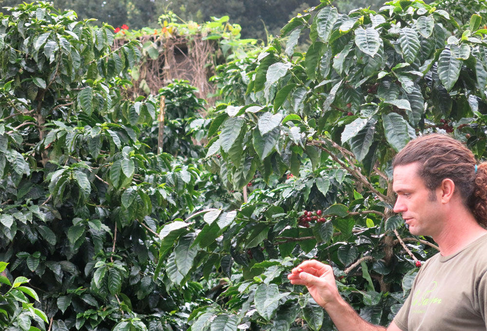 Oo Farm in Maui manager Ancil shows coffee fruit