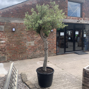 Olive Trees 2.4m - South Planks, Barton, Reclaimed Wood, Home Interiors, Cafe