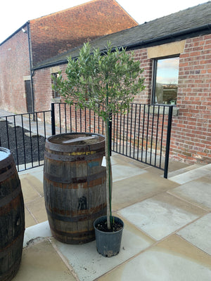 1.5m High Olive Tree - South Planks, Barton, Reclaimed Wood, Home Interiors, Cafe