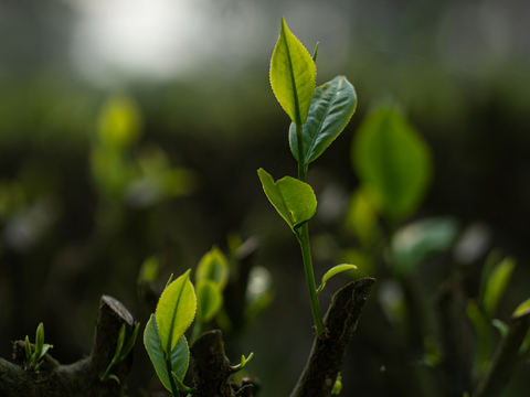 New Leaf Growth of the Camellia Sinensis Plant Used to Make Tea