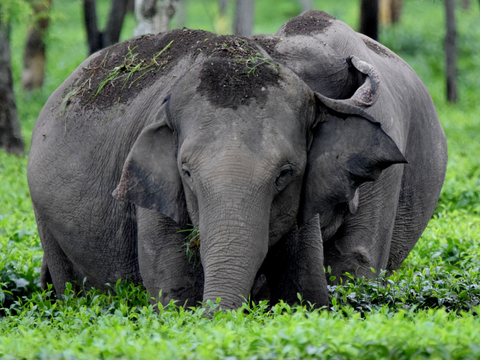 Elephants playing with mud in the middle of a tea plantation
