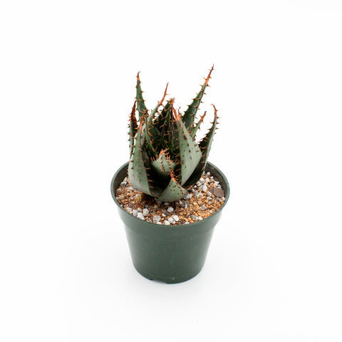 Aloe broomii
