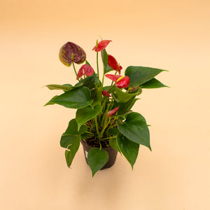 Anthurium 'Red Heart'