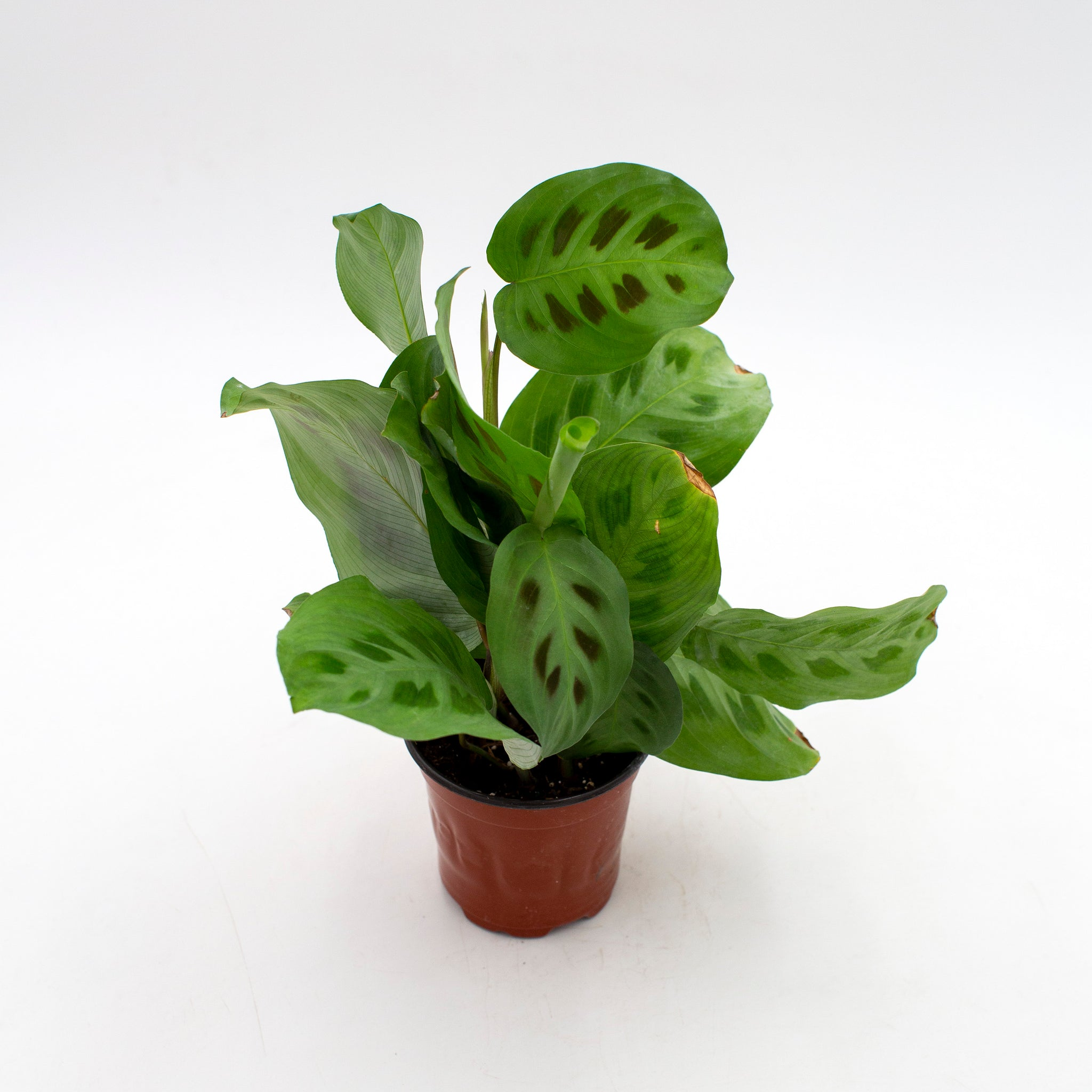 Maranta leuconeura 'Green Prayer Plant'