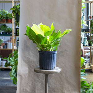 Philodendron 'Moonlight'
