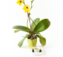 Load image into Gallery viewer, Japanese Orchid Sencha Sachets