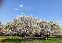 Load image into Gallery viewer, Bradford Pears - PYRUS CALLERYANA