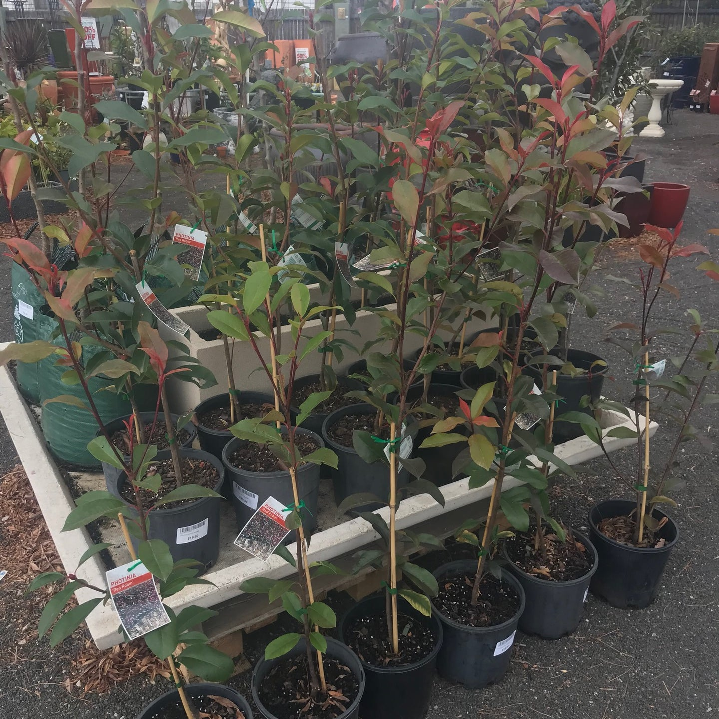 Photinia Red Robin x Fraseri 200mm