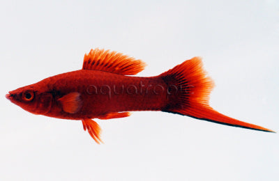 Red Velvet Swordtail