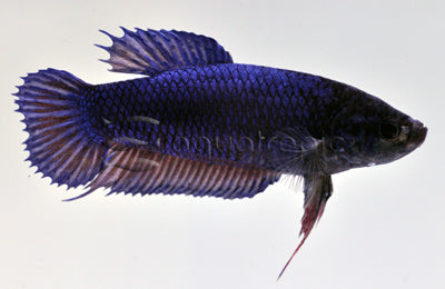 Halfmoon Betta Female
