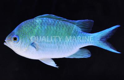 Blue Green Chromis Large