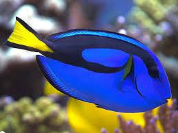 "Blue ""Hippo"" Tang Medium"
