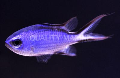 Blue Reef Chromis