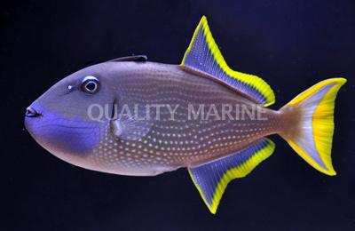 Blue Throat (Male) Triggerfish