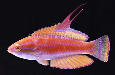 Carpenter's Wrasse - Male