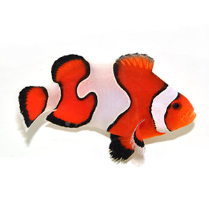 Fancy White/Semi Clownfish