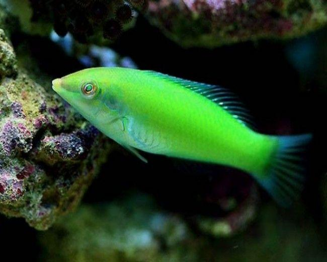 Green Wrasse