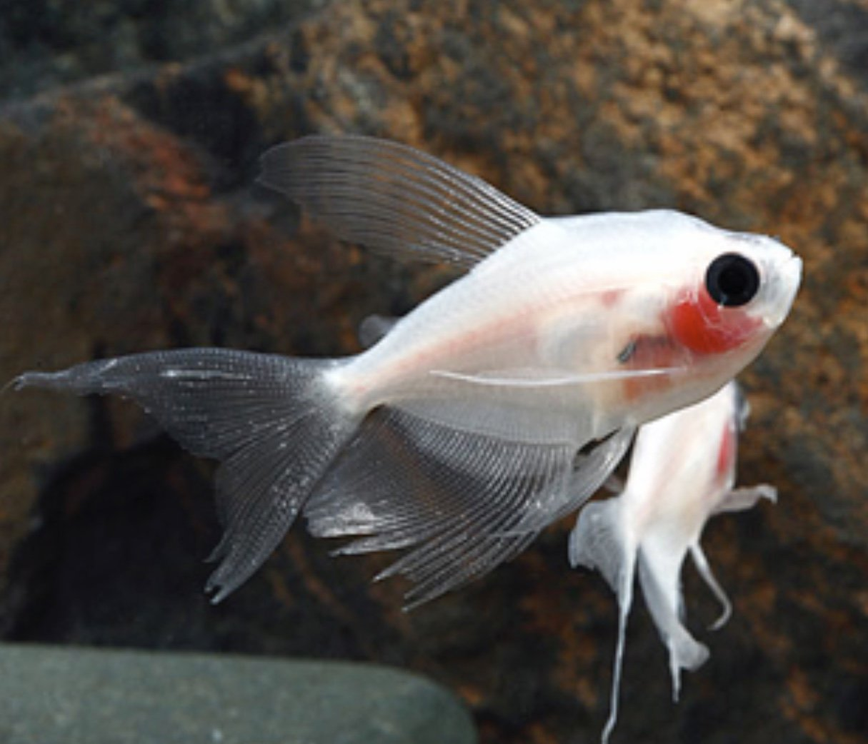 Blushing Longfin White Skirt Tetra