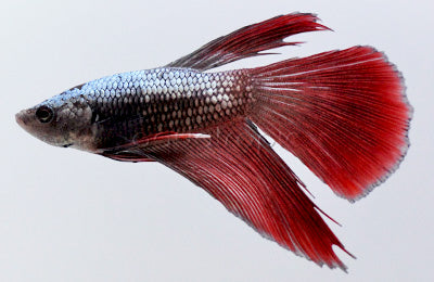 Longfin Dragonscale Betta - Male
