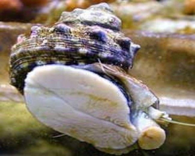 Mexican turbo Snail