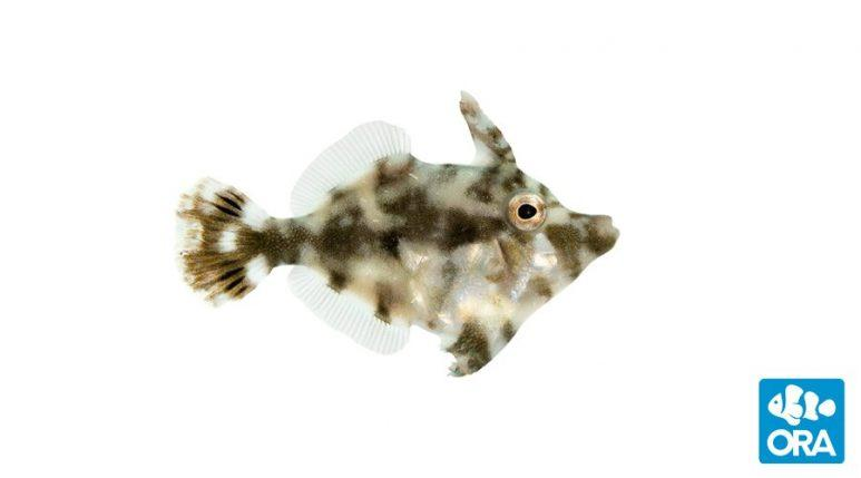 ORA Aiptasia Eating Filefish