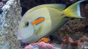 Orange Shoulder  Tang - Adult
