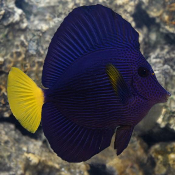 Purple Tang Medium/Large
