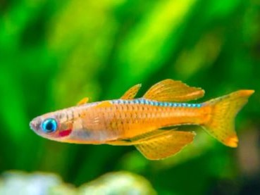 Red Neon Blue Rainbowfish