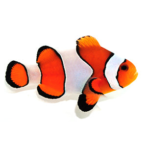 Vivid Fancy Clownfish