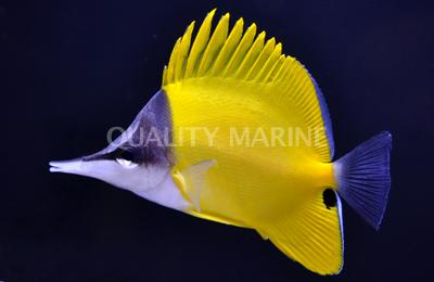 Yellow Longnose
