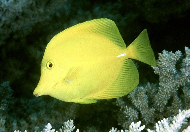 Yellow Tang Medium