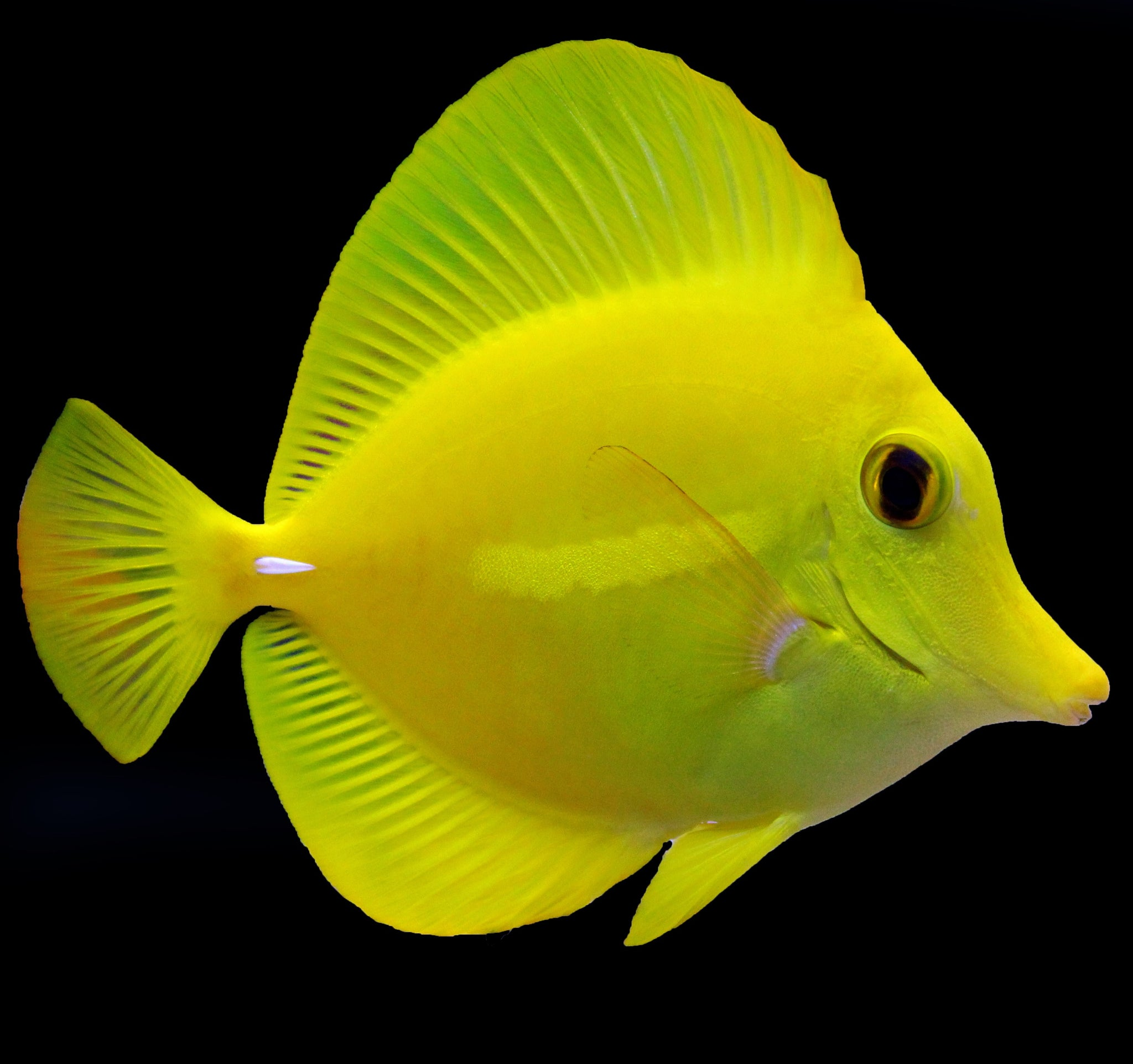 Biota Hawaiian Yellow Tang