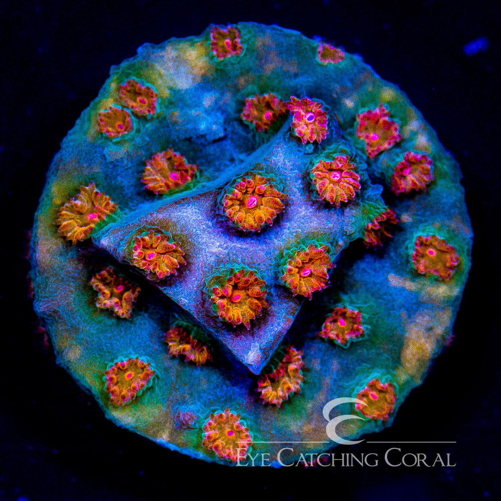 ECC Meteor Shower Cyphastrea Frag