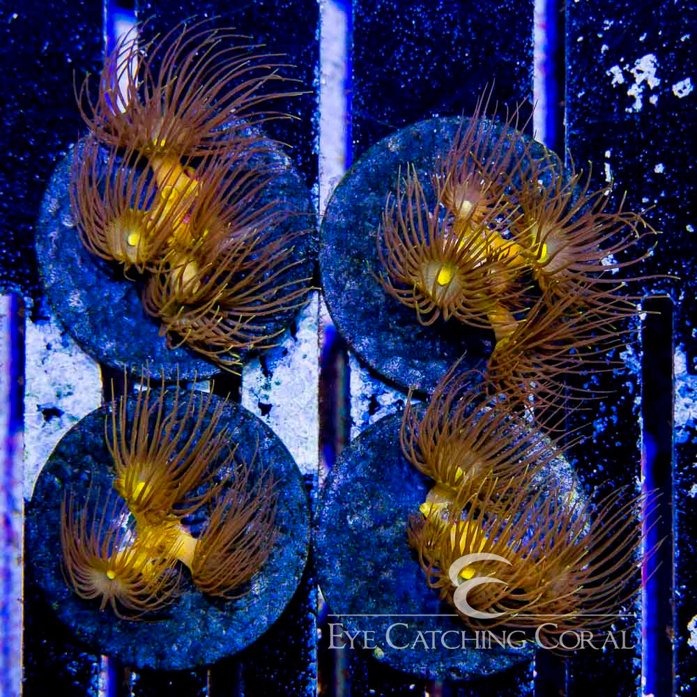 ECC Yellow Polyps Big Frag