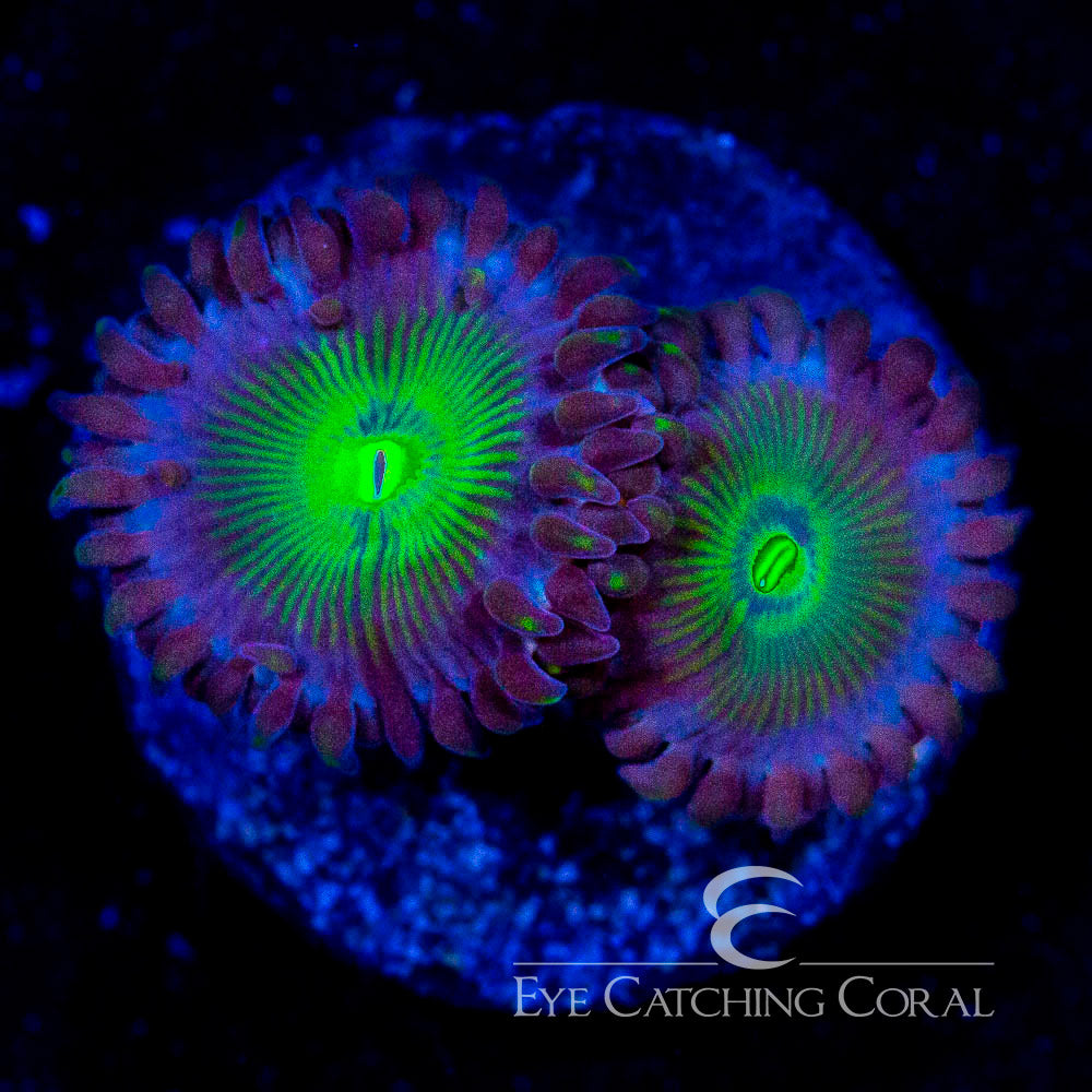 ECC Green People Eater Palythoa Frag (2 Polyp Average)