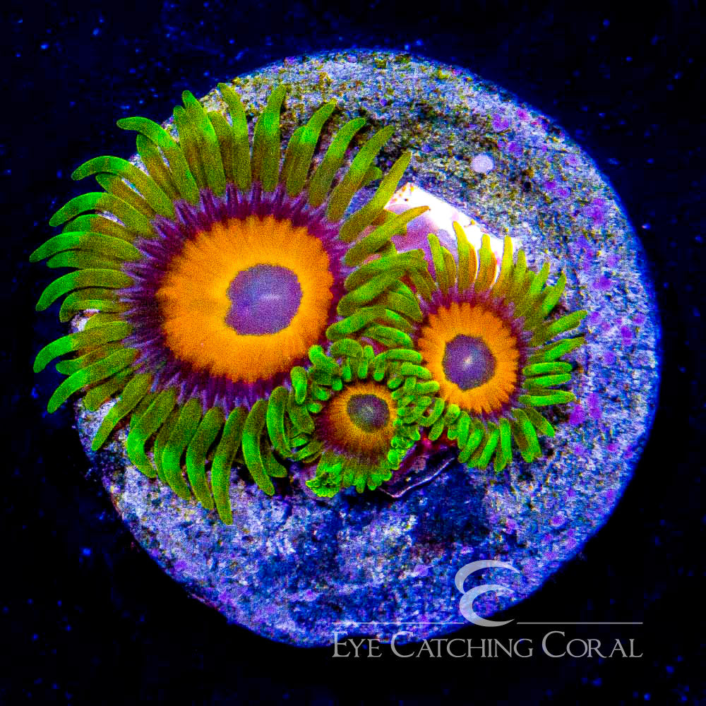 WWC Flaming Suns Zoanthid Frag (2 Polyp Average)