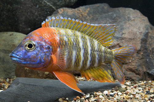 Red Fire Queen Peacock Cichlid Large
