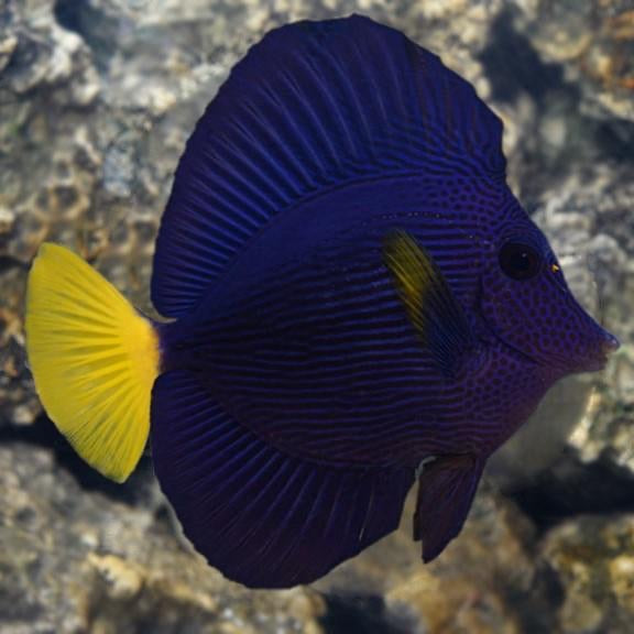 Purple Tang Small