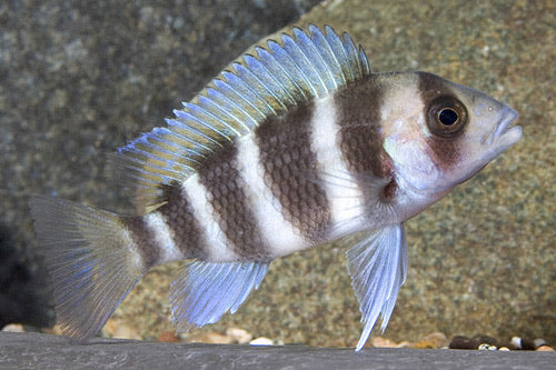 Cyphotilapia Frontosa Cichlid