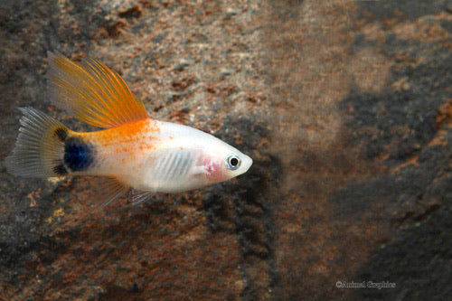 Highfin Candy Crescent Platy