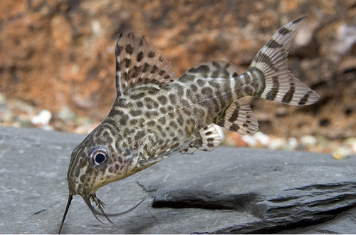 Synodontis Lace Catfish