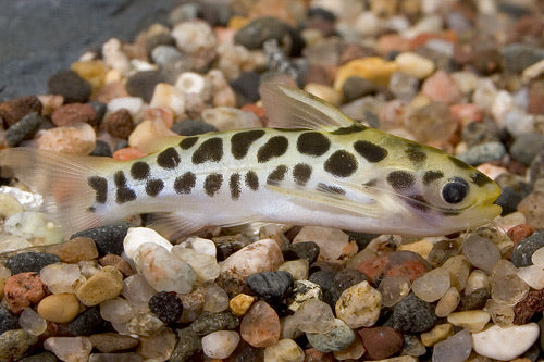 Honeycomb Tatia Catfish