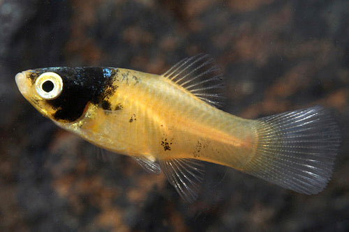 Bumble Bee Platy